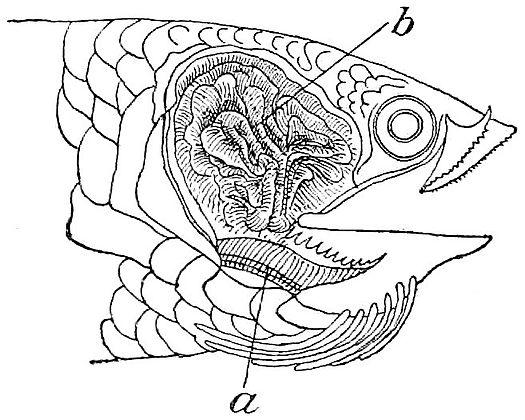 лабиринт окуня анабиса