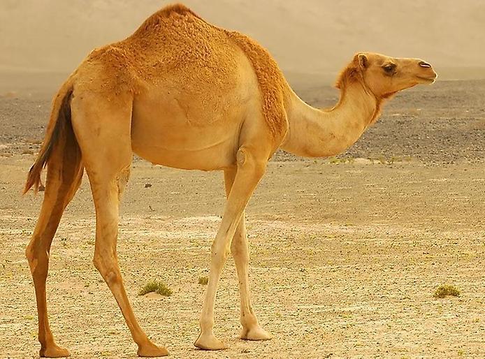 верблюды живут в пустынях