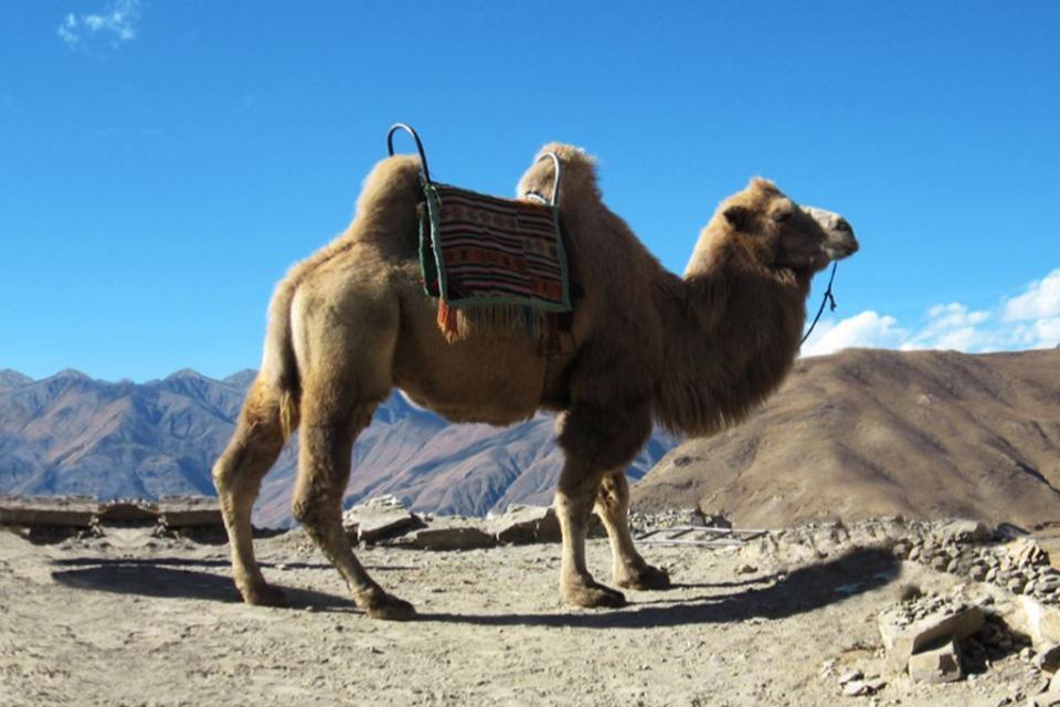 Верблюд навьюченный