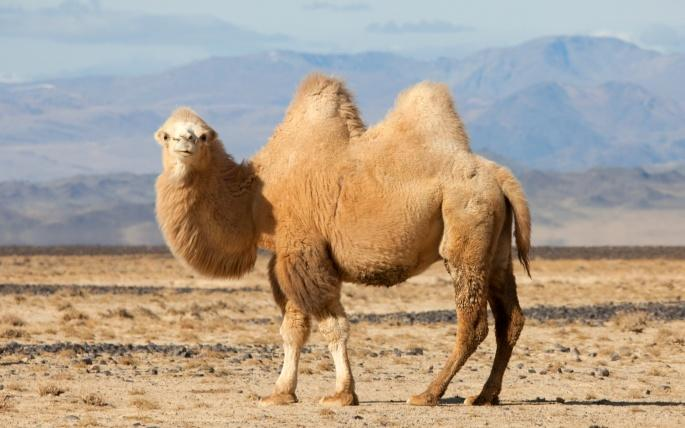 верблюд на фоне пустыни