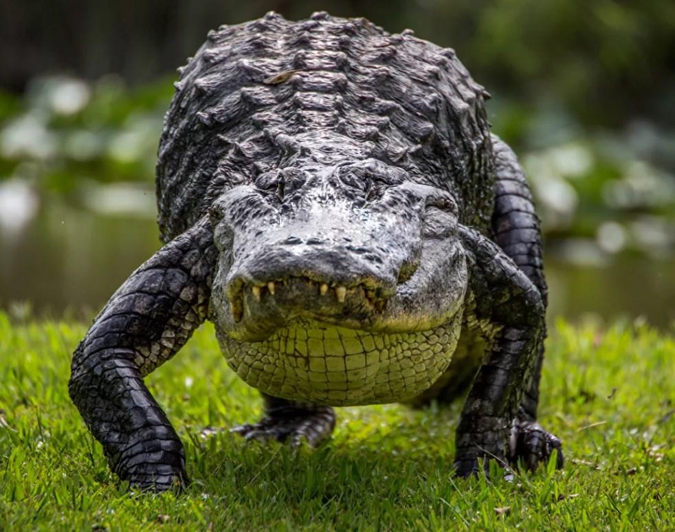 Крокодил опасное животное