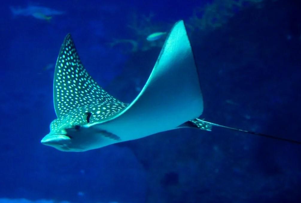 Скат опасное морское животное