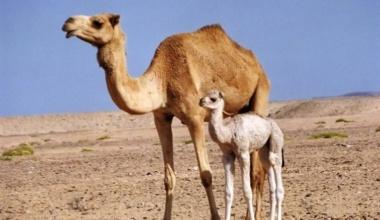 Почему верблюд не ест, почему верблюд плюется и все про верблюда